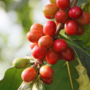 Product Page Key Ingredients: Coffee Cherry