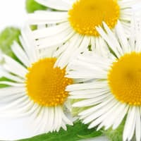 Product Page Key Ingredients: Chamomile